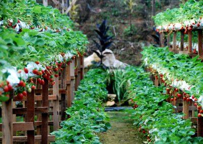 مزرعة الفريز الأحمر الهائل في مرتفعات الكاميرون (3)