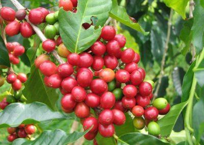 مزرعة الفريز الأحمر الهائل في مرتفعات الكاميرون (6)