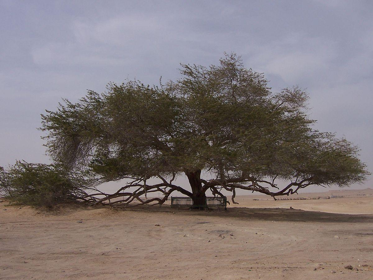 معجزة شجرة الحياة في البحرين
