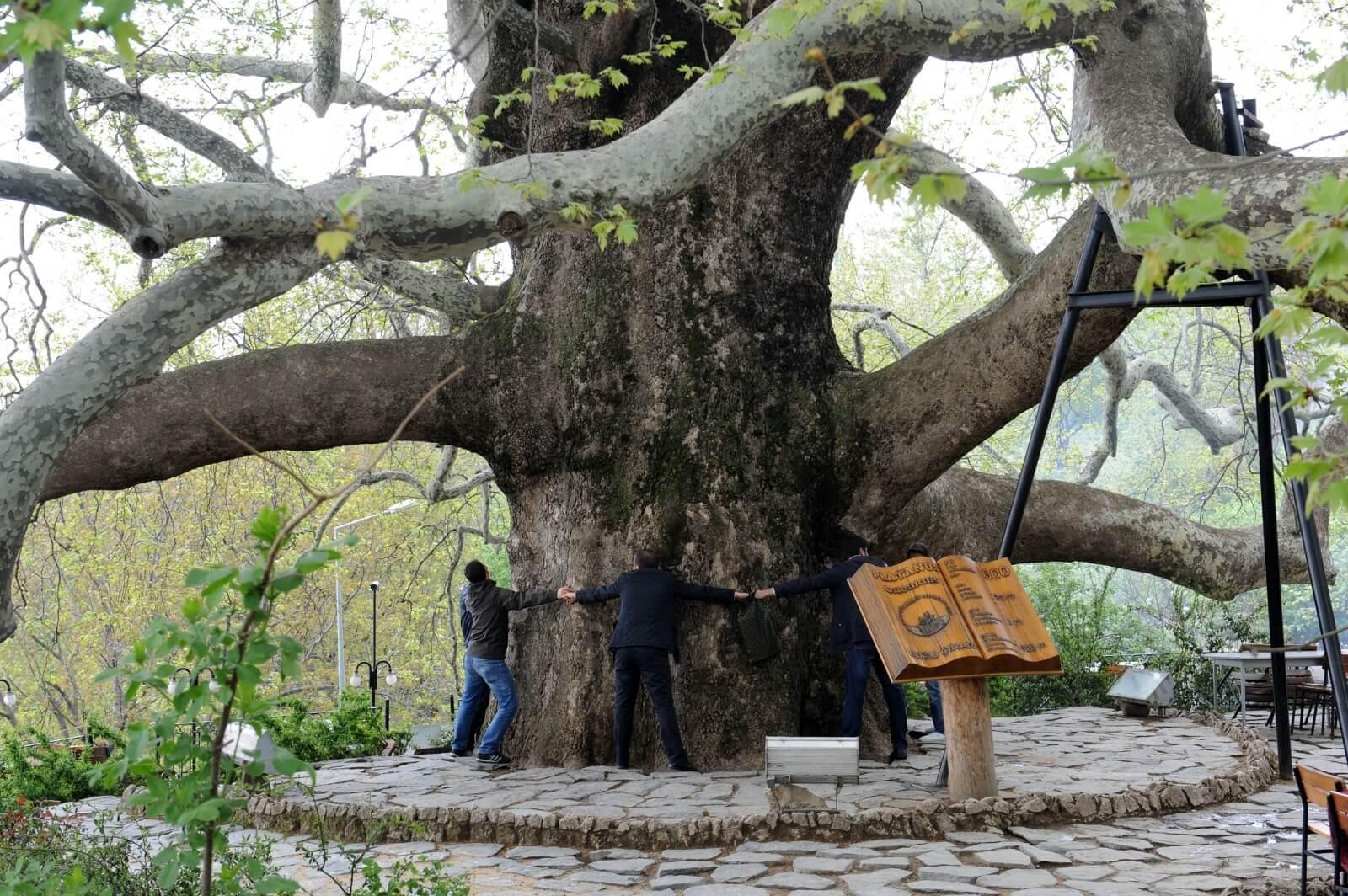 الشجرة التاريخية في بورصة تركيا
