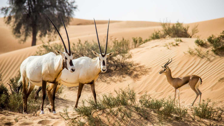منتجع المها فى دبى افضل منتجعات الشرق الاوسط | منتجع المها الصحراوى فى دبى