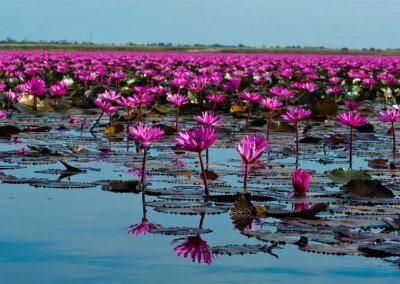 بحيرة اللوتس الاحمر