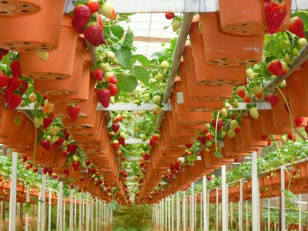 Strawberry-plantations