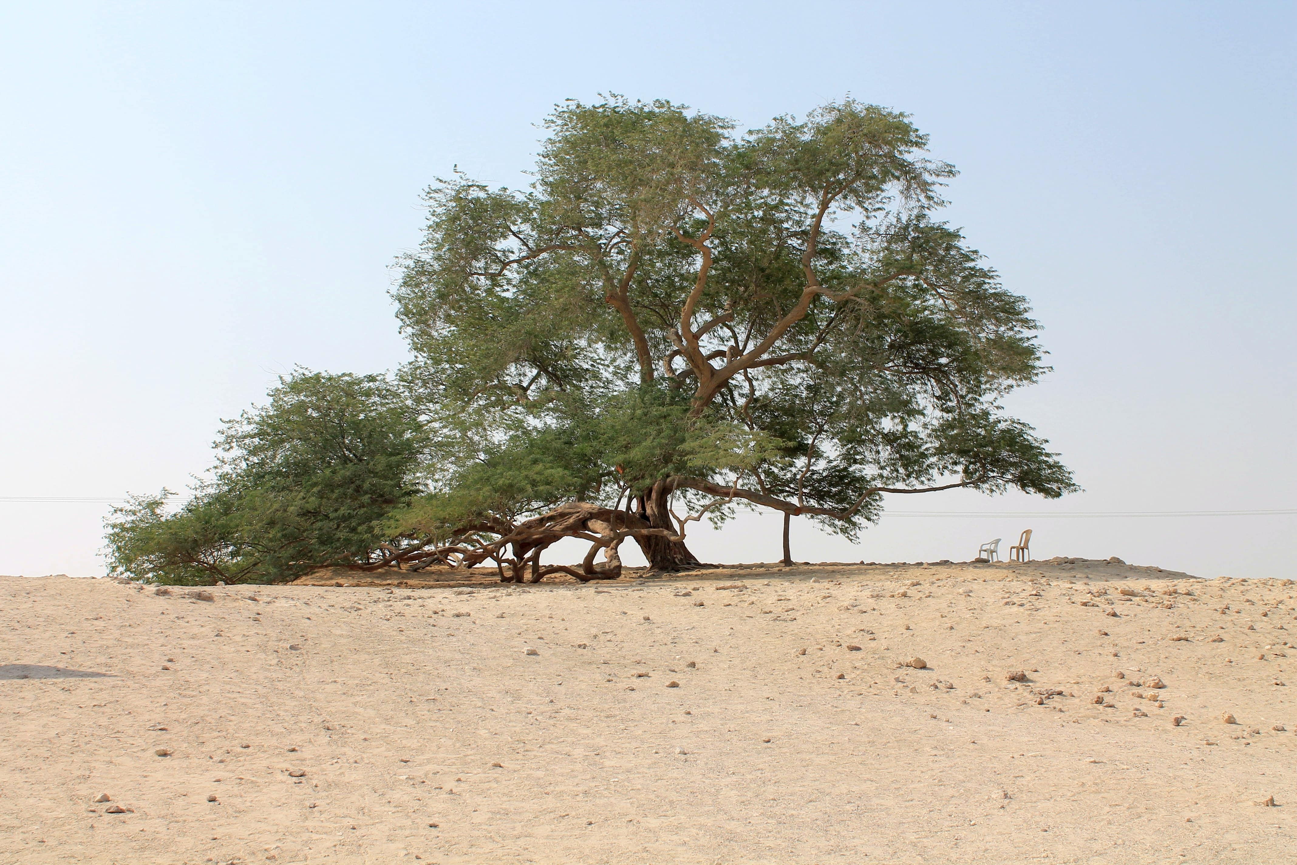 The miracle of the tree of life in Bahrain