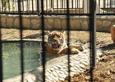 bakuzoo-tiger