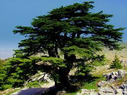شجر الارز لبنان