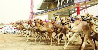 متعه مشاهده سباق الهجن فى دوله الامارات العربيه | سباق الهجن فى الامارات