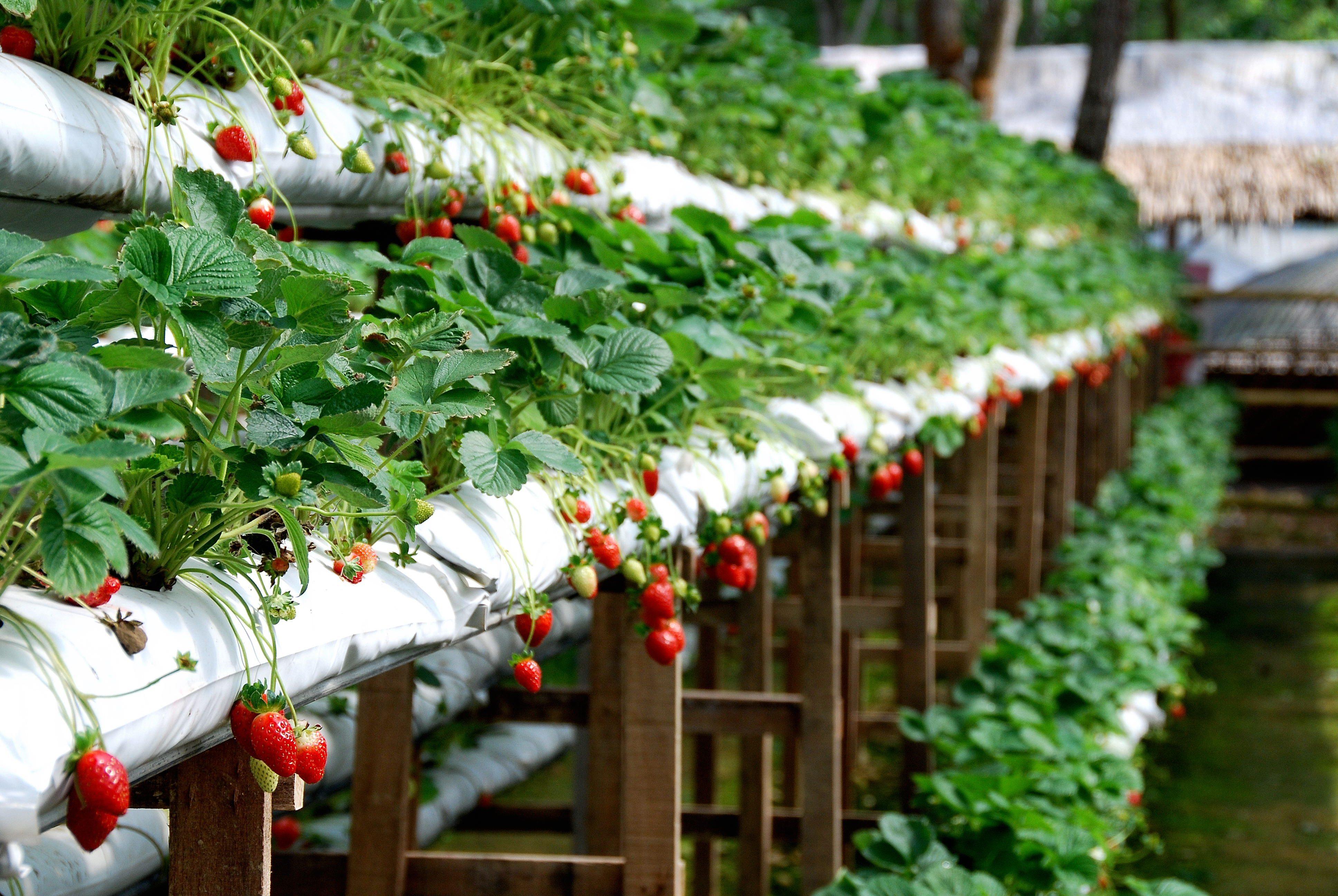 أفضل 7 أنشطة في مزارع الفراولة جنتنج ماليزيا