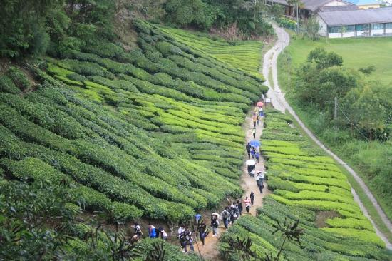 أفضل 4 أنشطة في مزارع الشاي كاميرون هايلاند